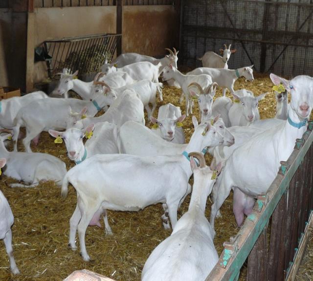 chèvres-du-vrizon-benet-85-d-3