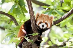 natur-zoo-mervent-panda-roux-85200
